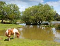 Ponny vid sjön nya Forest Hampshire England UK på en sommardag royaltyfri fotografi