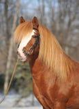 ponny welsh Arkivbild