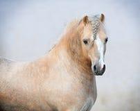 ponny welsh Fotografering för Bildbyråer