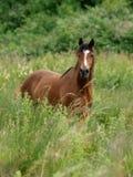 ponny welsh Royaltyfri Bild