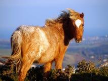 ponny welsh för 8 berg Arkivfoton
