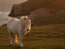 ponny wild welsh Royaltyfri Foto