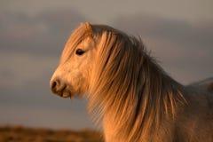 ponny wild welsh Arkivbild