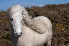 ponny wild welsh Arkivfoton