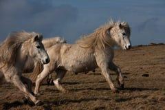 ponny wild welsh Royaltyfri Bild