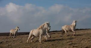 ponny wild welsh Royaltyfria Bilder