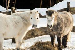 Ponnyer Royaltyfria Bilder