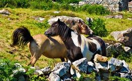 ponnyer Arkivbilder