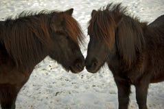 ponnyer Fotografering för Bildbyråer