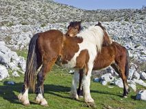 Ponnyer i karstområdet Arkivbild