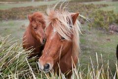 Ponnyer i Padock Royaltyfria Foton