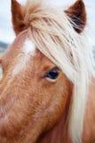 Ponnyer i Padock Fotografering för Bildbyråer