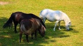 Ponnyer som äter gräs Arkivbild