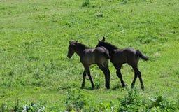 ponnyer två Fotografering för Bildbyråer
