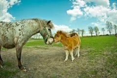 Ponnyföl royaltyfria bilder