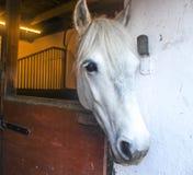 Ponnyhäst royaltyfria foton