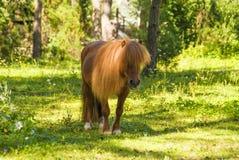 Ponnyhäst arkivfoto