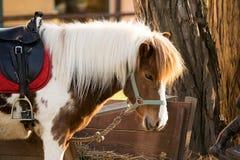 Ponnyhäst Royaltyfri Bild