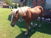 Ponnyhäst Arkivbild