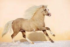 ponnyhingst welsh Arkivfoton