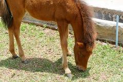 Ponnyn äter gräs Royaltyfri Bild