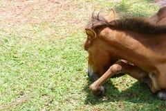 Ponnyn äter gräs Arkivfoton