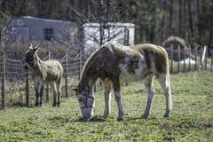 Ponnyn och åsnan betar in royaltyfri fotografi