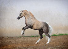 ponnyn rears welsh Arkivbild