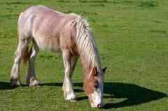 Ponnyn som betar på evakuerat, betar royaltyfria bilder