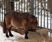 Ponnyn står på staketet på snön och äter hö Royaltyfri Foto