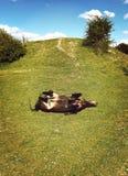Ponnyrullning på gräs Royaltyfri Foto