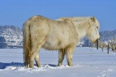 ponnyshetland vinter Fotografering för Bildbyråer