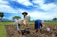 Ponorogo. INDONESIA - APRIL 13, 2014: Farmers are planting corn on his farm Gontor Village, , East Java, Indonesia. Photo taken on: April 13st, 2014 Royalty Free Stock Images