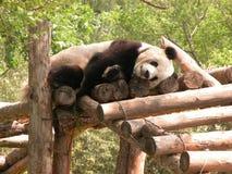 ponoszą panda Fotografia Royalty Free