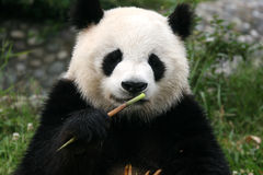 ponoszą panda Zdjęcia Stock