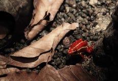 Ponowna jad strzała żaba Obrazy Stock