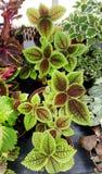 Ponpy叶子,绿色秋海棠植物 免版税图库摄影