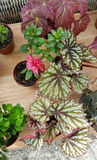Ponpy leaf , green begonia plants Stock Images