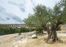 Pont du加尔省:老橄榄树 图库摄影