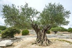 Pont du加尔省:老橄榄树 库存照片
