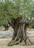 Pont du Gard: old olive trees Royalty Free Stock Photo
