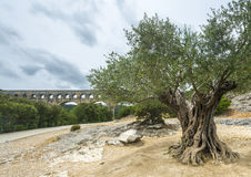 Pont du Gard: old olive trees Stock Photography