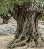 Pont du Gard: old olive trees Royalty Free Stock Image