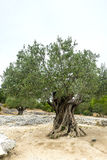 Pont du Gard: old olive trees Stock Photo