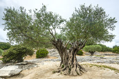 Pont du Gard: old olive trees Stock Photos