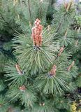 A ponta do ramo do pinho com agulhas Imagem de Stock