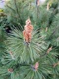 A ponta do ramo do pinho com agulhas Foto de Stock Royalty Free