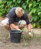 Pontas do aspargo do corte Foto de Stock