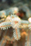 Pontas dos ramos Spruce Imagens de Stock