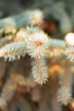 Pontas dos ramos Spruce Fotografia de Stock